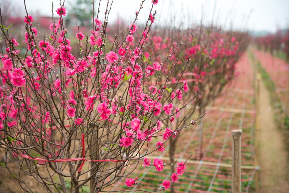 Hoa đào tượng trưng cho mùa xuân miền Bắc